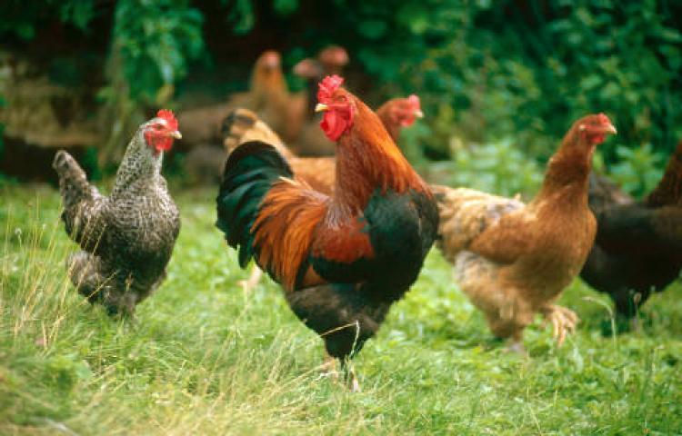 Cara Memulai Bisnis Ternak Ayam Kampung