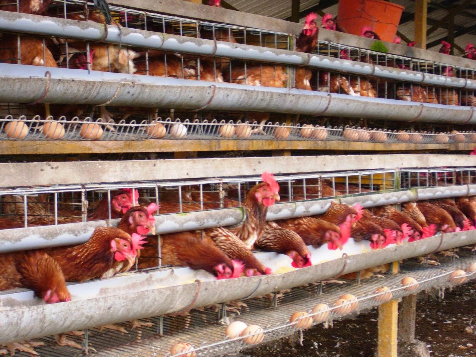 Rincian Modal Bisnis Ayam Petelur Yang Sangat Menjanjikan